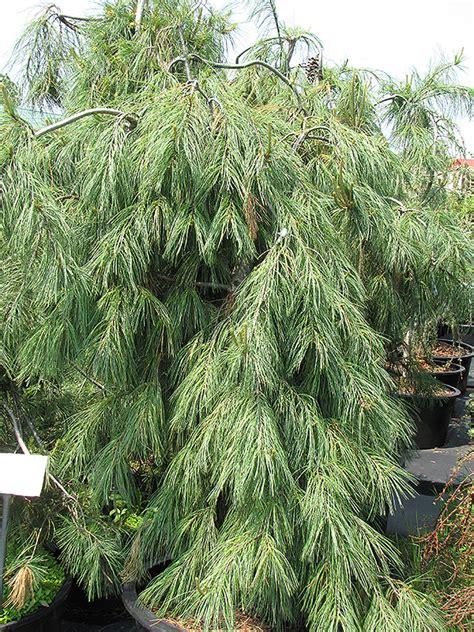 weeping white pine pinus strobus pendula  inver
