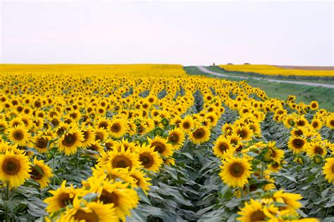 sunflowers background sunflower wallpapers images photos pictures backgrounds