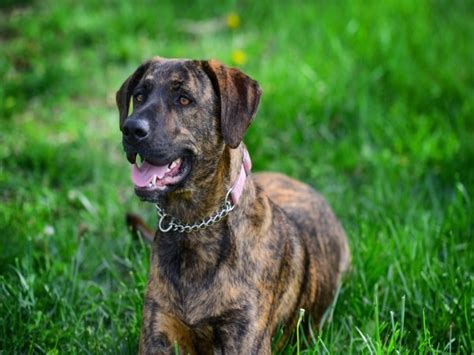 brindle colored dogs what are brindle dogs brindle breeds breeds