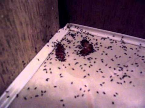 very small ants in bathroom those horrible tiny black ants youtube