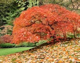 japanese maple in carpet of fall leaves chris bidleman