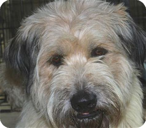 briard mix barrett meethim doggonesmart adopted dog norwalk ct