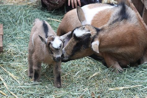 can i goats in my backyard the itty bitty farm in the city goats strictly country
