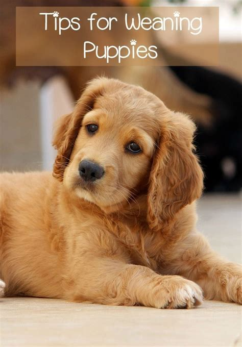 how often should 2 week puppies eat how do puppies to be start puppy food foodfash co