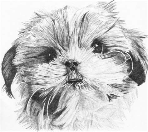 how to draw a shih tzu shih tzu drawing by fexii on deviantart