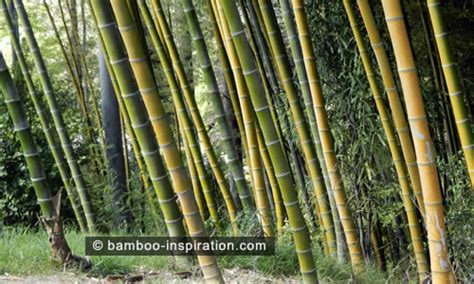 Bamboo Plants   Bamboo Inspiration
