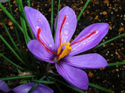libro la flor del azafrn flor de azafr 225 n comer y beber y amar