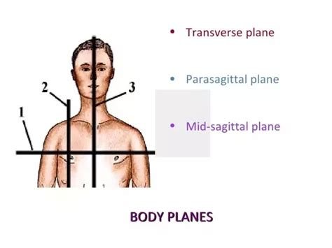sagittal section definition what is a parasagittal plane quora