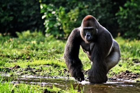 Western gorilla   The Life of Animals