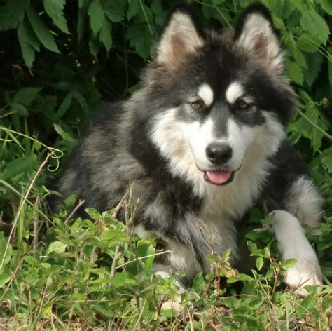 husky malamute mix puppies for sale husky malamute mix for sale california breeds picture