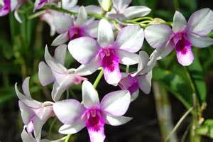 orchid flowers of the empress the land of orchids