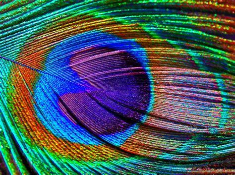 peacock feather colors peacock shutterbug