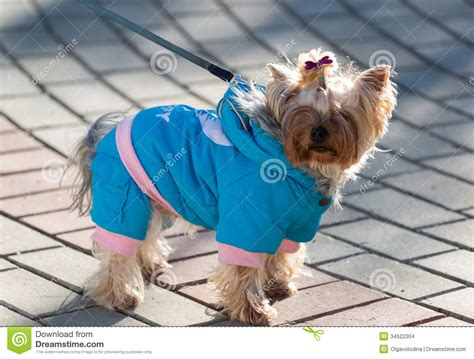 yorkie terrier clothes terrier in clothes stock images image 34522304