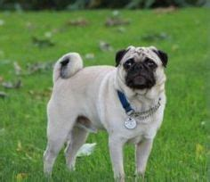 petfinder pug 1000 images about puppies i want on shih tzu pug dogs and milwaukee