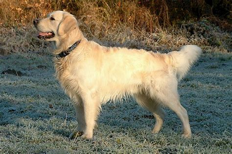 characteristics of golden retrievers golden retriever guide a z canine breed information