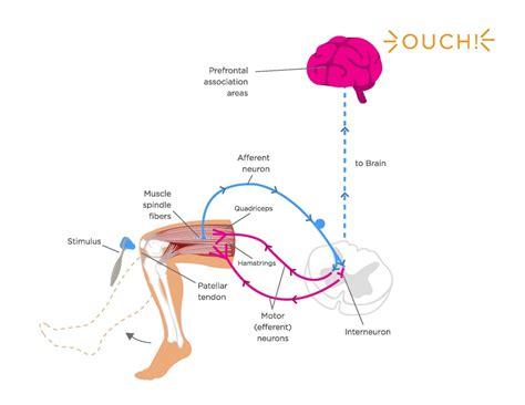 diagram of knee reflex patellar reflex diagram www pixshark images