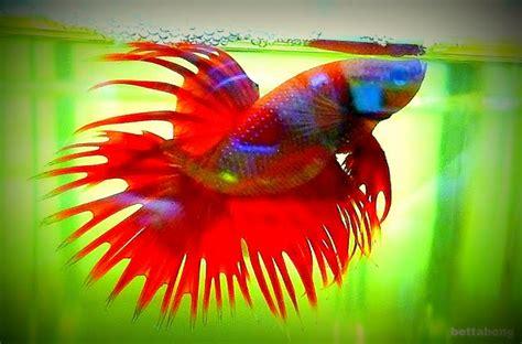 cing bett king crowntail betta fish