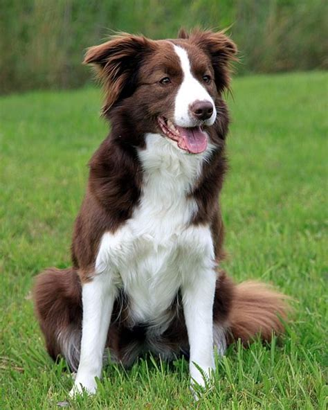 brown border collie puppies 39 best images about border collies on my boys best dogs and border