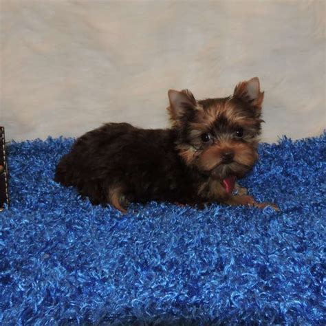 yorkie chocolate chocolate yorkie puppy for sale maverick teacup yorkies sale