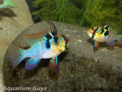 freshwater ram german blue ram cichlid aquariums fish