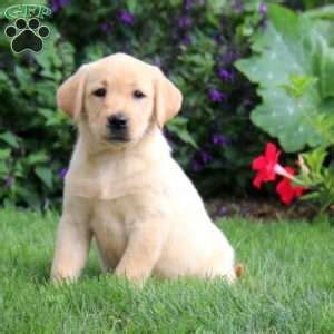 lab puppies for sale in pa yellow lab puppies for sale in pa