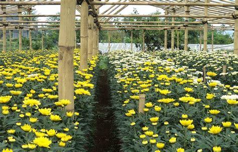 Tanaman Jadi Bunga Krisan Mix 1 rahasia budidaya bunga krisan dan cara merawatnya gambar