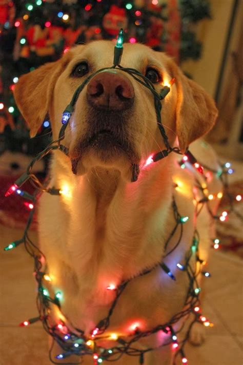dog with lights christmas never too early pinterest