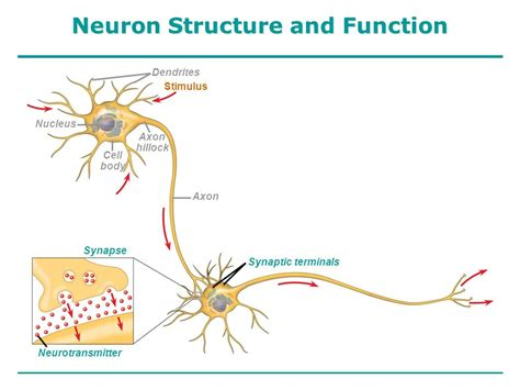 neuron diagram and functions neurons synapses and signaling ppt
