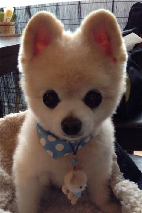 national pomeranian day best 25 pomeranian haircut ideas on pomeranian pups names of haircuts