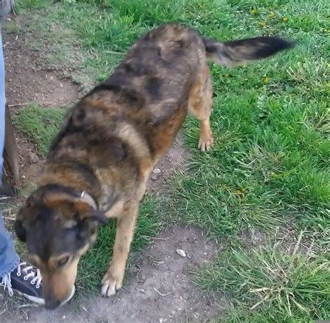 finished coyote dogs for sale newhairstylesformen2014 com coyote hound craigslist running walker coyote dogs for