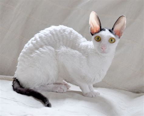 Cornish Rex Info, Kittens, Personality, Life Expectancy