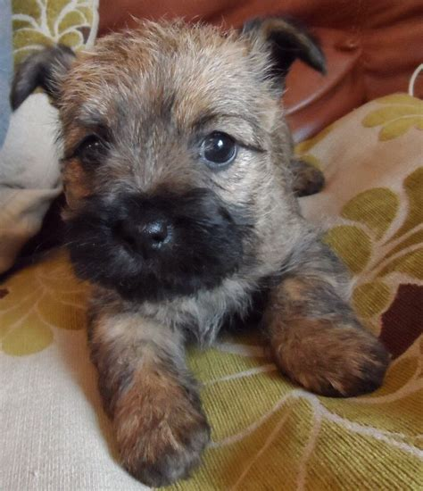 puppies terrier cairn terrier puppies excellent pedigree 1 left stafford staffordshire pets4homes