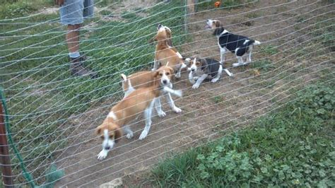 coyote puppies for sale search results for walker pups for sale black hairstyle and haircuts