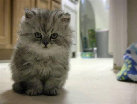 foto dei gatti persiani gatti persiani pelo lungo caratteristiche dei gatti