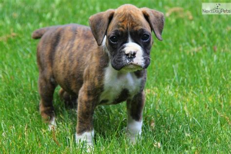 boxer puppies for sale near me puppies for sale near me free puppies puppies for adoption pets world