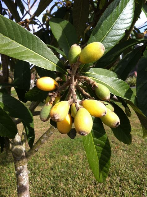 central fruit trees matelic image central florida fruit trees