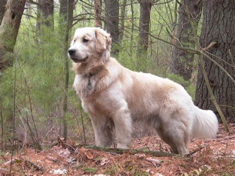golden retriever shedding serious shedders dogs that shed the most clippity do
