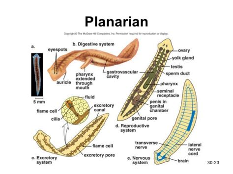 planarian diagram planarian anatomy diagram pictures to pin on
