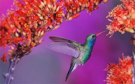 colibri hd wallpapers wallpapersnet