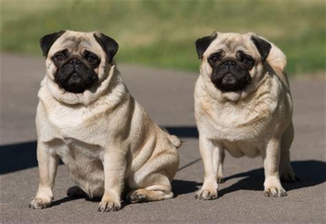 show me a pug cortana show me pictures of dogs pugs calculadora edad perro calcular a 241 os