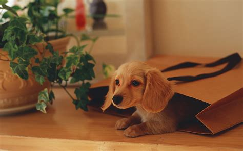 puppy in a purse in a gift bag wallpapers and images wallpapers pictures photos