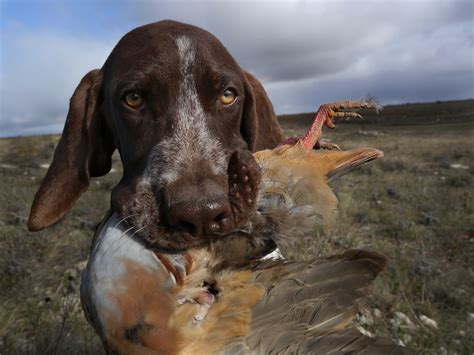 what are bird dogs duck breeds