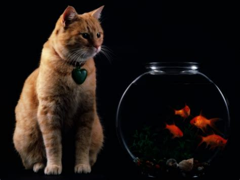 cat wallpaper zip cat and the fish free desktop wallpapers for widescreen
