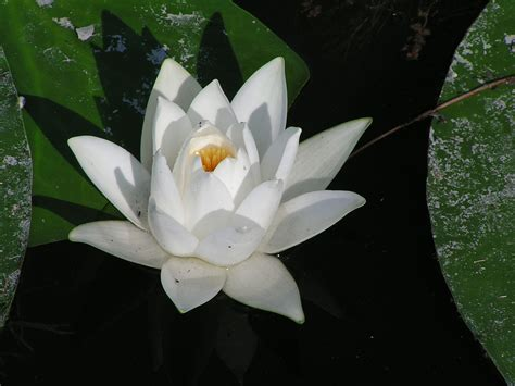 fiore definition nymphaea alba wiktionary