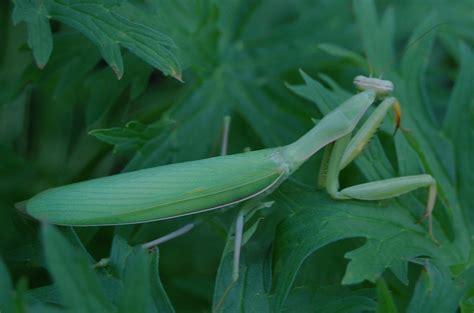 praying mantis garden pest benefical insects in our gardens praying mantis