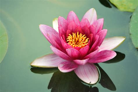 Pink Lotus Acupuncture The Most Beautiful Flowers In The World All2need