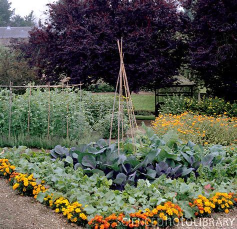 where to plant marigolds in vegetable garden garden ftempo