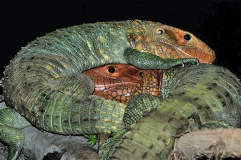 Caiman Lizard | Info-Facts and New Photos 2012 | The Wildlife