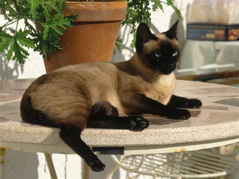 cat table siamese cat resting on table top photographic print by gareth rockliffe at allposters