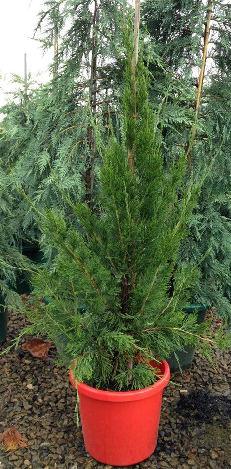 juniperus chinensis spartan common  spartan juniper